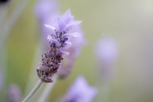 lavender-1359791_1920